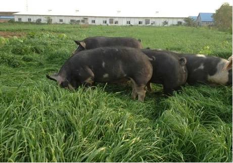 原生态养殖土猪,生长周期长